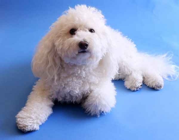 Maltese and Poodle Mix (Maltipoo)  Pros and Cons of Crossbred Dogs