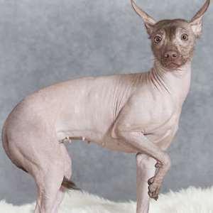Mexican Hairless Originated in Mexico (Xoloitzcuintli)