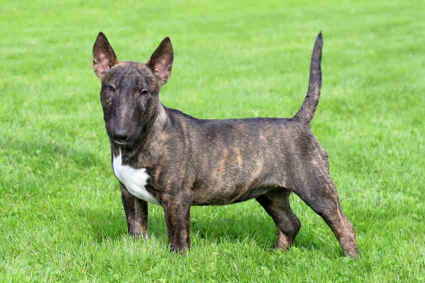A Miniature Bull Terrier that is Colored With White