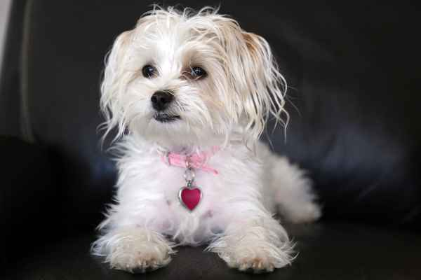Morkie:  A Maltese and Yorkshire Terrier Crossbred dog (in Pros and Cons of Crossbred Dogs)