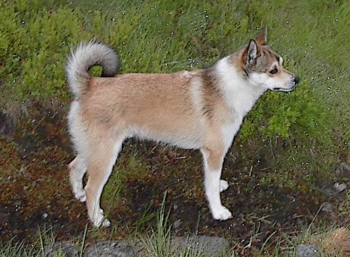 The Norwegian Lunderhund is standing in the grass.