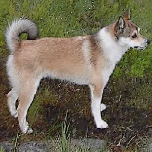 Norwegian Lunderhund Dog Breed