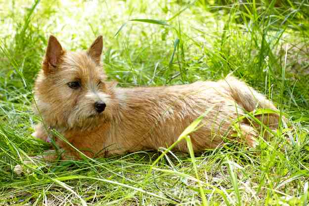 The Norwich Terrier