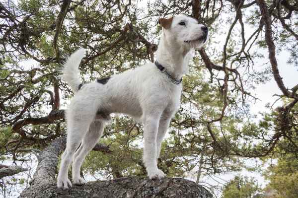Parson Russell Terriers:  Lively, Energetic, Intelligent