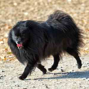 Black Pomeranian Dog Breed Link to Breed Profile Page