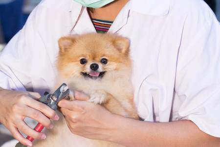 Clipping Your Pom's nails is just part of a good Pomeranian grooming routine.