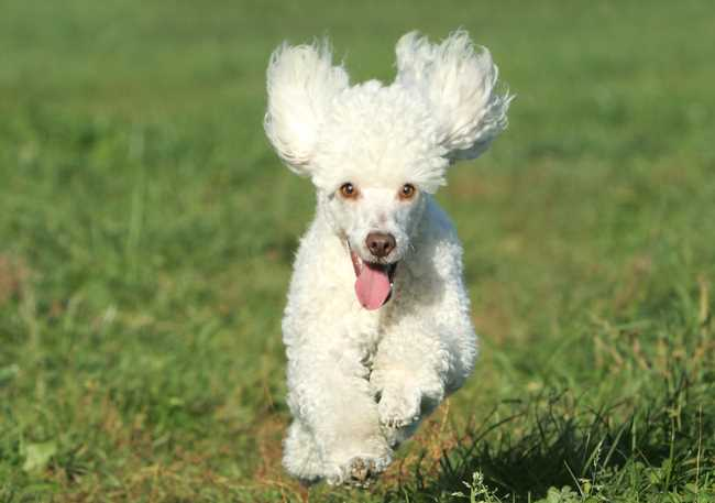 A small white poodle running towards the camera.