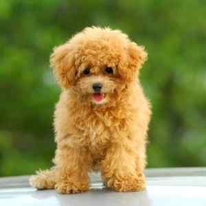 Poodles:  Number 7 in Popularity