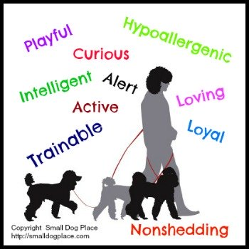 Toy Poodles are hypoallergenic, trainable and loyal.