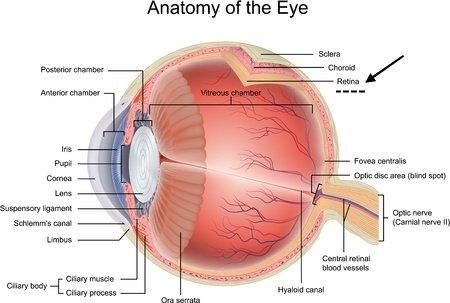 Progressive retinal atrophy in dogs pra progressive retinal atrophy eye anatomy ccuart Image collections