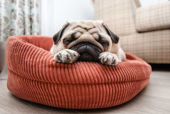 A pug is sleeping on his bed