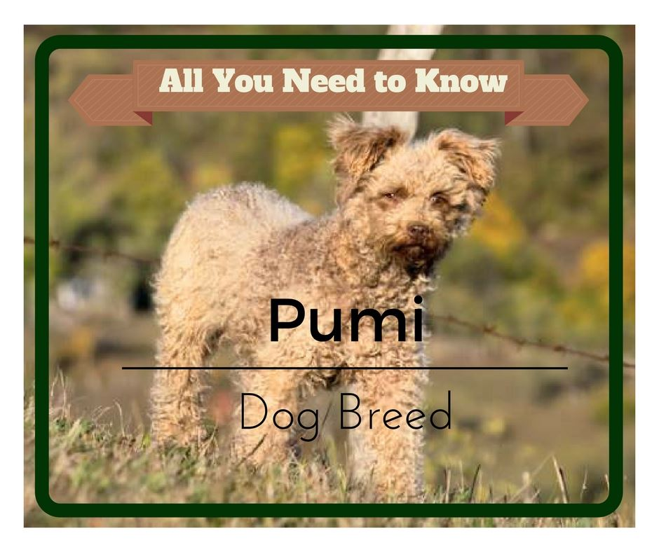 The Pumi, a Hungarian Herding Dog