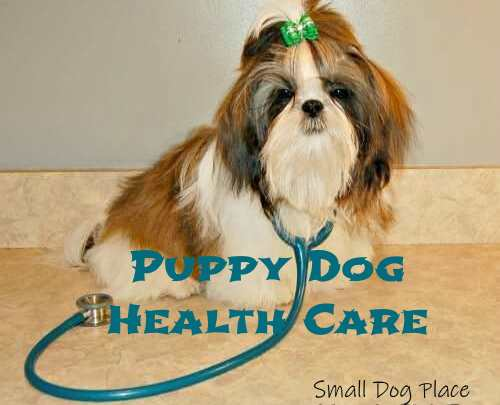 Shih Tzu puppy is sitting, facing the camera with a stethoscope around his neck.
