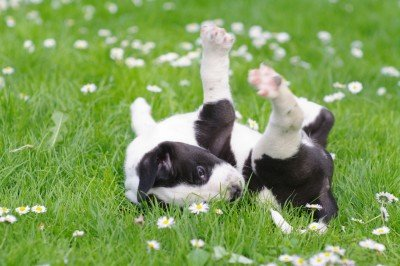 A young puppy is rolling around in the grass.