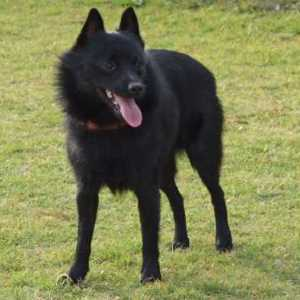 Black Schipperke Dog Breed Link to Breed Profile Page