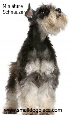 Schnauzer:  A good small breed dog for children