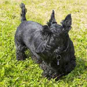 Black Scottish Terrier Dog Breed Link to Breed Profile Page