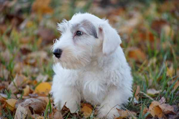 The Sealyham Terrier or Sealies as they are often called.