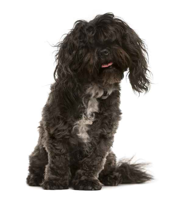 Bichon Frise and Shih Tzu mix (Pros and Cons of Crossbred Dogs)