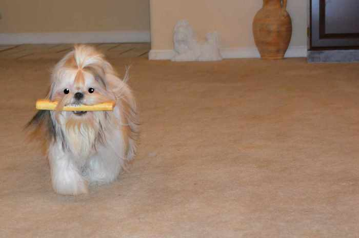 A young Shih Tzu is running towards the camera carrying a stick in her mouth.