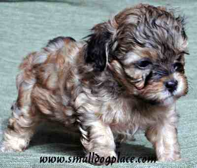 Shorkie Tzu is a Yorkshire Terrier and Shih Tzu mix