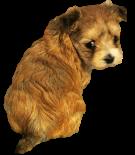 Girl Puppy Names:  Shorkie Tzu