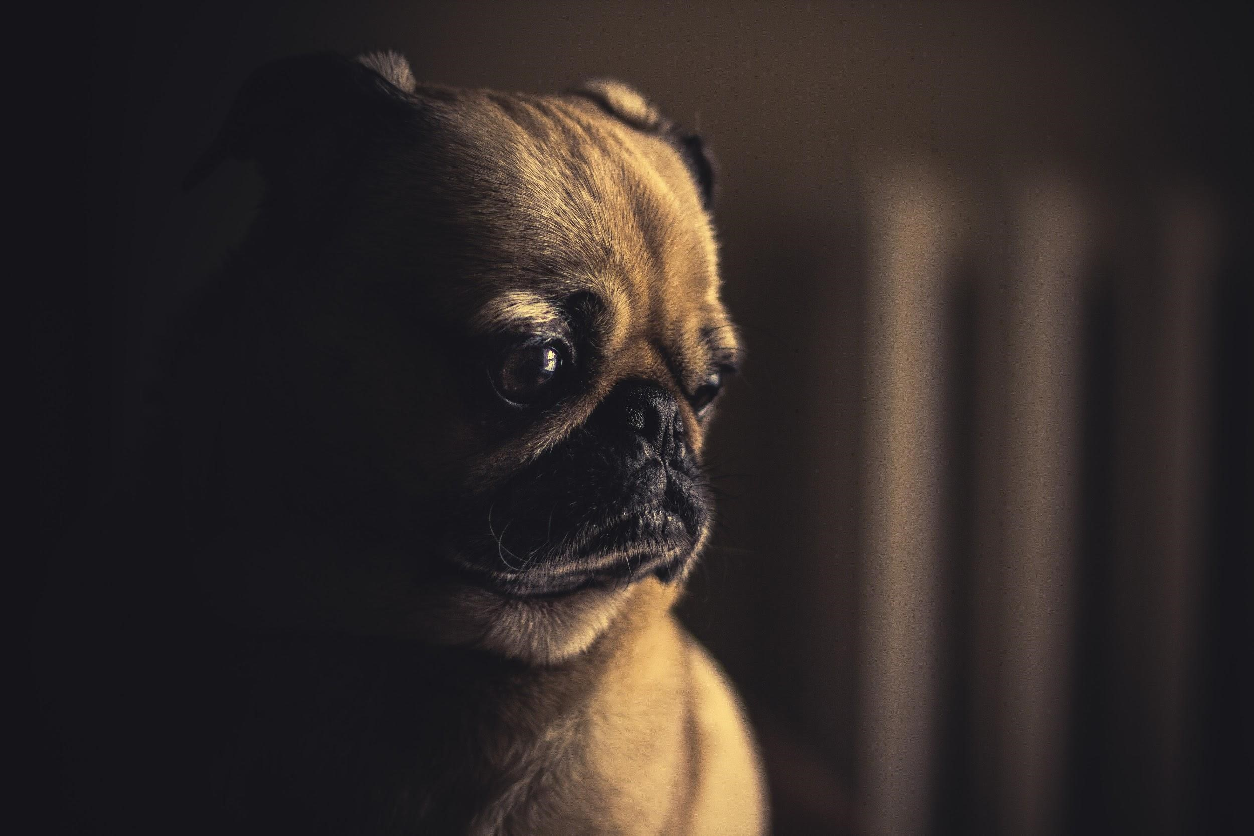 A pug is staring off to the side of the camera.