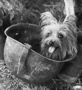 Smoky, the first therapy dog during World War II