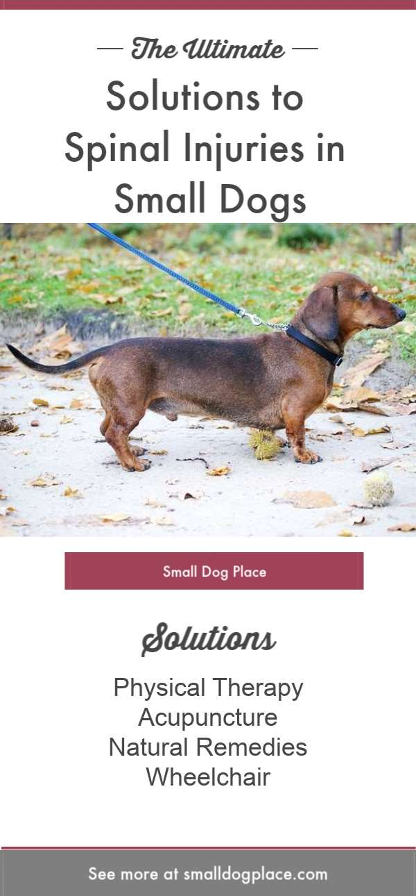 Solutions for Spinal Injuries in Dachshunds Pinnable Image