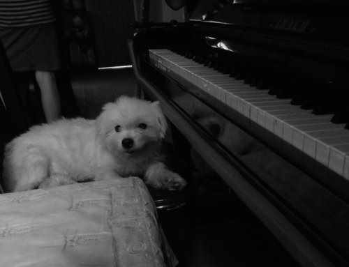 Sweet, my fluffy white dog sitting at the piano.