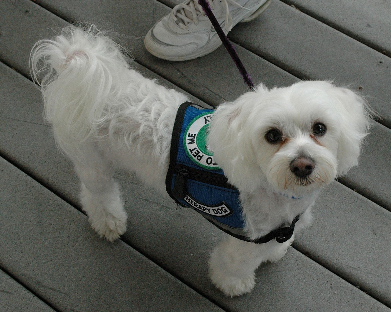 Therapy Dogs:  Maltese
