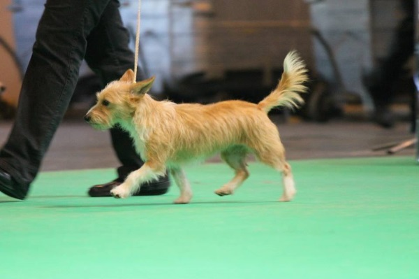 Tink at Crufts 2016, courtesy of Diana Curtis (Links below)