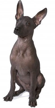 Xoloitzcuintli is one of several very ancient breeds.
