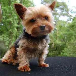 Yorkshire Terrier:  Number 9 in Popularity