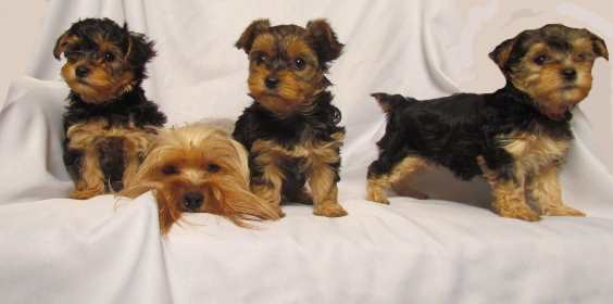 Yorkshire terrier poodle mix temperament