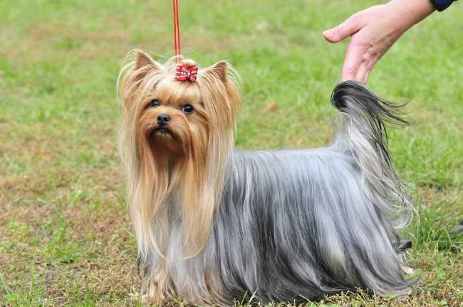 A Yorkshire Terrier in full show coat is looking at the camera.