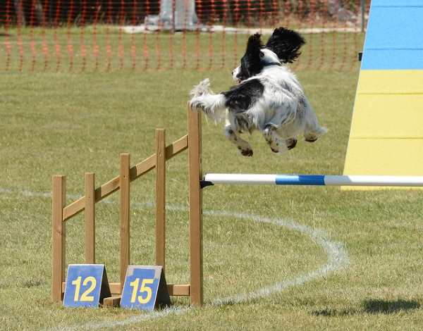 A small spaniel is participating in an agility jump