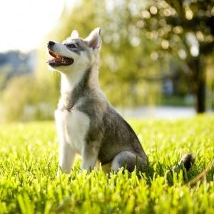 Alaskan Klee Kai sitting in the grass.