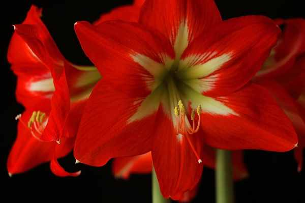 Amaryllis also is known as  Belladonna lily, Saint Joseph lily, Cape Belladonna, Naked Lady