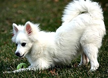 Playful American Eskimo Dog