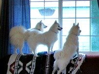 Three American Eskimo Dogs