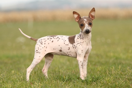 Photo of the American Hairless Terrier