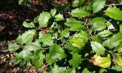 American Holly is a plant toxic to dogs