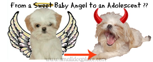 Surviving an adolescent dog, from angel to devil?