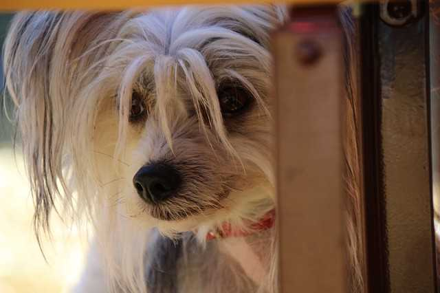 A Chinese Crested dog is peering out the door.