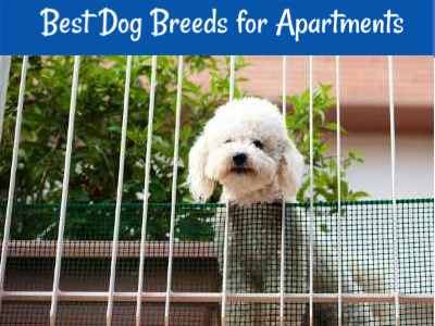 Best small breed dogs for apartment living