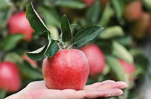 Apples and other fruits make excellent additions to your small dogs' homemade diet.