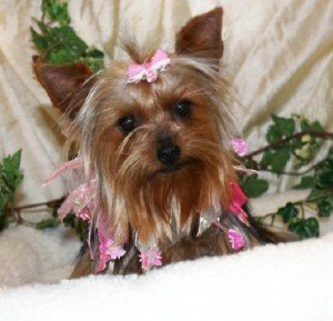 Female Yorkshire Terrier Dressed in Pink
