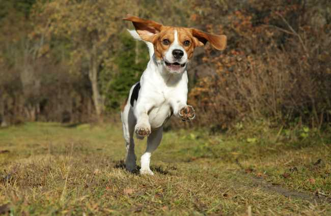 A Beagle is running towards the camera.