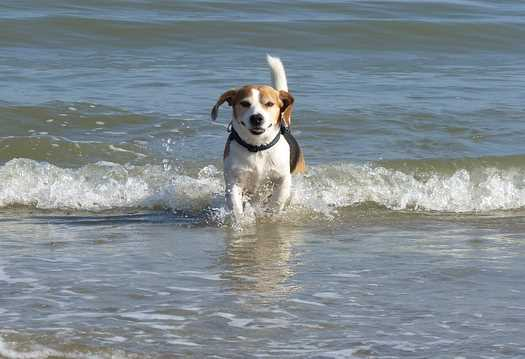 A young beagle is splashing in a body of water near the beach.